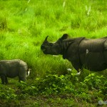 Chitwan rhinos migrating westward