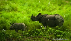 Nepal plans rhino census for early next year