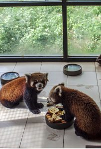 Meet Nepal zoo's beloved red pandas who cannot survive without air conditioning