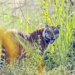 Tiger, leopard cat found dead in Chitwan, Tanahun
