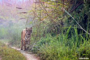 In photos: Encounter with the Royal Bengal Tiger in Nepal's woods