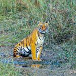 Tiger Day: Nepal's tiger conservation history summed up in 6 points