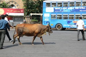 Holy cow: as Hindu nationalism surges in India, cows are protected but minorities not so much