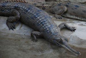 Sole male gharial crocodile in Chitwan National Park found dead