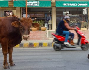Writ at Supreme Court seeks protection of stray cattle