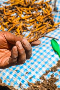 In pictures: A day in the life of 'Himalayan Viagra' pickers