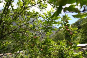 Rise and fall of apples in Manang