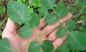 The tree of life: Moringa Oleifera