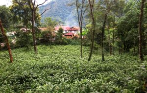 Climate smart practices revive cardamom farming in eastern Himalayas