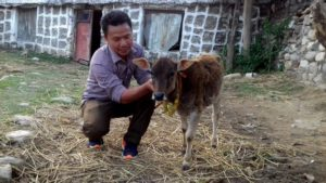 Population of Nepal's naumuthe cow is dwindling