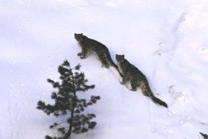 Snow leopard census concludes in Shey-Phoksundo