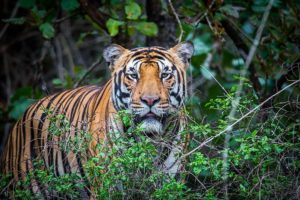 Saving the Royal Bengal Tiger in Nepal and beyond