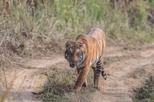 DNA database helps Nepal's officials monitor tigers, punish poachers