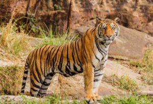 Nepal tiger population up by 37 in past five years