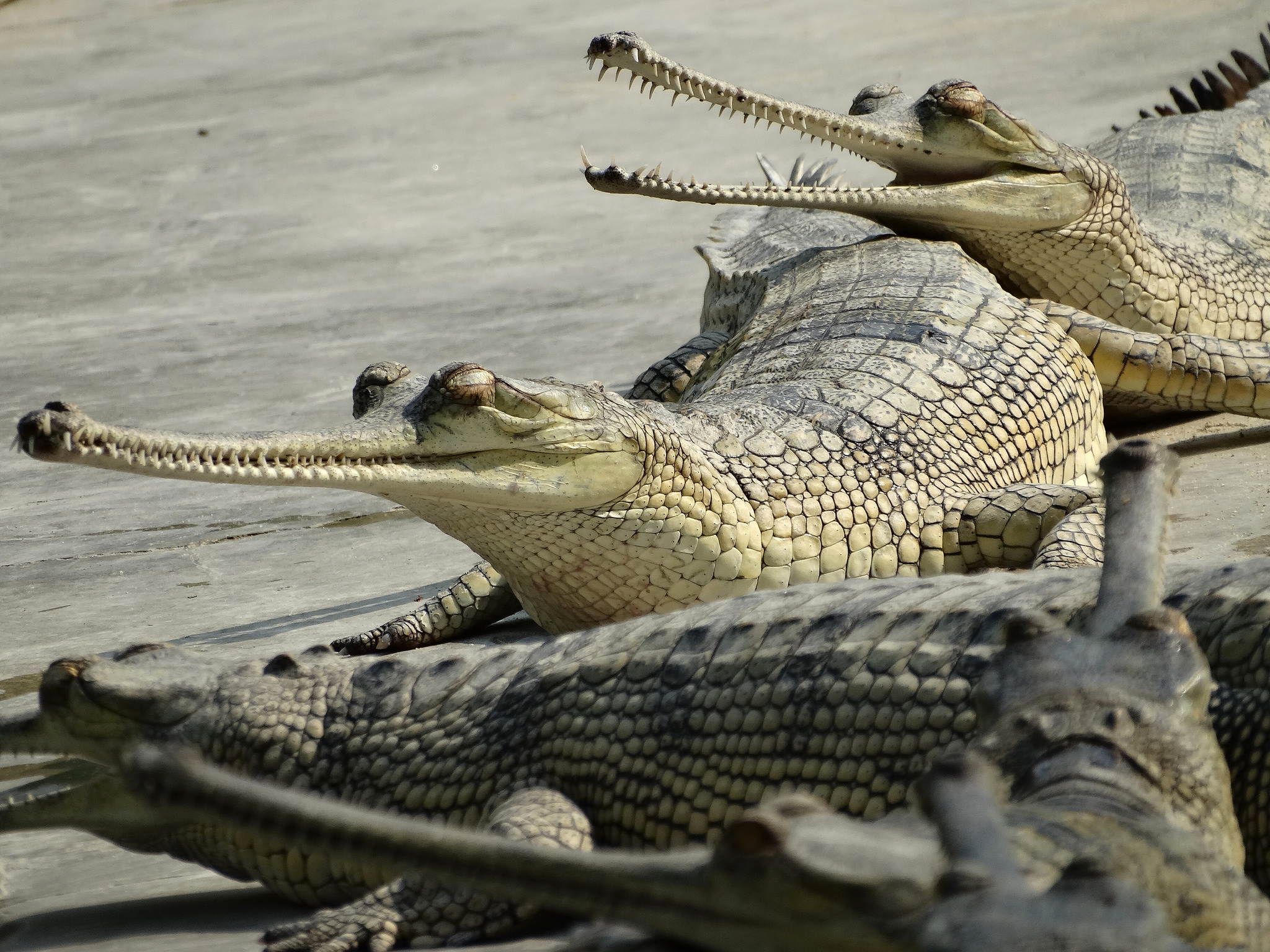 Scientists deploy drones to count endangered crocodiles in Nepal's Bardia