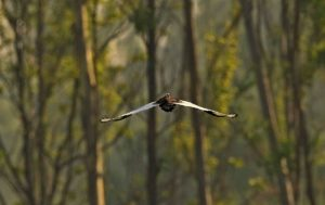 In pursuit of the rare bird that vanishes for half the year