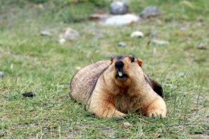 Himalayan Marmot's formula to survive high altitude constraints: Mutate