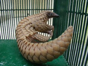 Preserving the pangolin in South Asia