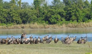 Nepal vulture population: New count records 2,312 individuals, 506 more than last year