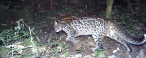 Hidden cameras reveal six colour variants of the Asiatic golden cat