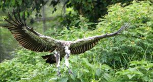 'Vulture restaurants' provide lifeline for critically endangered species