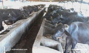 Why everyone needs to worry about first case of malaria parasites in Nepali buffalos