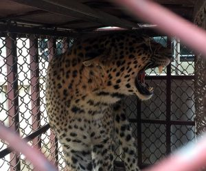 Tanahu villages live in fear as leopard kills six children in 18 months