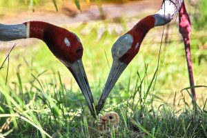 Photo story: A newborn sarus crane faces the world