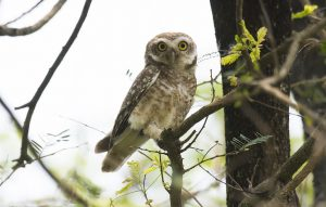 Around 2,000 owls are smuggled abroad from Nepal every year, but stakeholders are least concerned