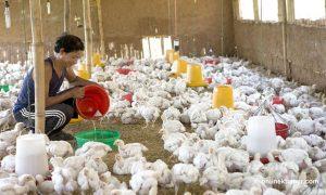 Newcastle disease kills 1,200 chickens in Ilam