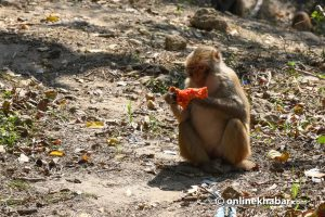 These pics show you how lockdown has left monkeys, dogs and pigeons starving in Kathmandu