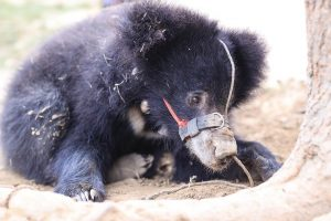 Rescued 'Nepali' bear denied exit permit