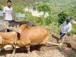 Back to Rolpa, Mahara engages himself in farming