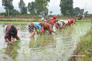 Asar 15: Nepali farmers hope for prosperity amid fears of Covid-19, locust attack