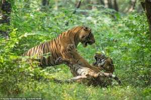 President, PM stress need for tiger conservation