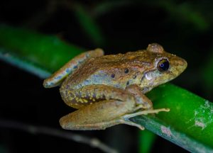 Every frog has its day: When Newars of Kathmandu feed frogs rice which the animals do not eat