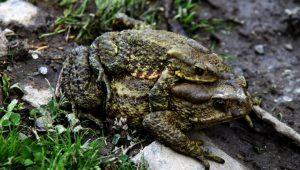 Urbanisation in Nepal destroys frogs' habitats