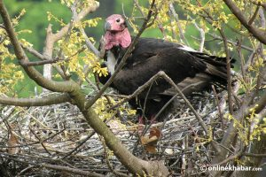 'Critically endangered' red-headed vultures' nest found in Kanchanpur