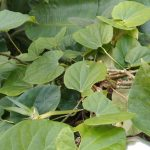 Gurjo: This vine has been household name amid Covid-19 pandemic. What is it anyway?