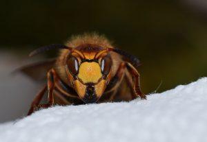 Hornet sting kills two kids in Doti