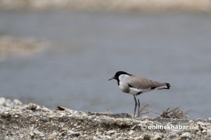 Birdwatchers in Kathmandu, go to Manohara banks for this autumn–for peace and beauty