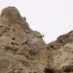 Shey-Phoksundo National Park to count Himalayan blue sheep