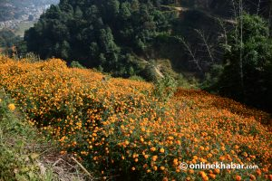 Ichangunarayan village steals the limelight every Tihar, but floriculture is everyday affair here