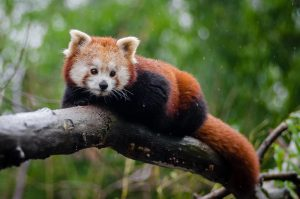 Rs 7.8 million for red panda conservation in Ilam