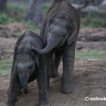 Why is studying poop important for elephant conservation?