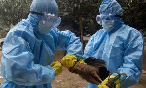 Bird flu in Kathmandu valley yet again: 1,500 fowls destroyed in Nakhkhu