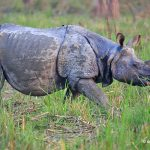 There are 752 rhinos in Nepal, reveals 2021 census