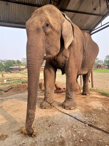 Supreme Court orders govt to immediately stop the cross-border sale of Nepal's captive elephants