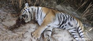 Tiger found dead in Parsa community forest