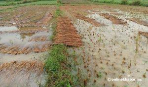 Unseasonal rainfall caused a loss of Rs 7.22 billion to Nepal farmers: Govt